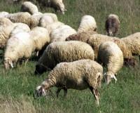 Ecquo blog archive le pecorelle smarrite negli ultimi - La pagina della colorazione delle pecore smarrite ...